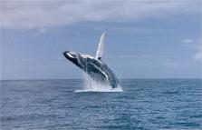 imm_1762_whale_jumping1.jpg