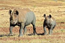 imm_475_black-rhino (1).jpg